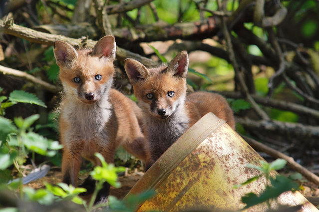Fox cubs. (Photo by Adam Tatlow/BNPS)