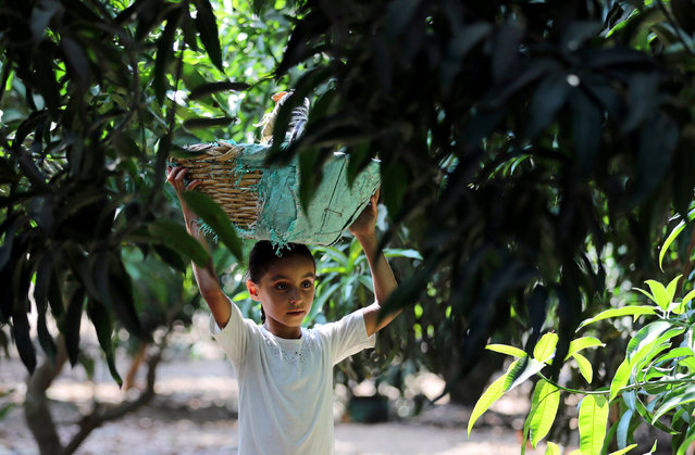 Mariam, an-8-year-old girl, carries a basket of mangoes at a field in Al-Giza, on the outskirts of Cairo, Egypt August 27, 2018. (Photo by Mohamed Abd El Ghany/Reuters)