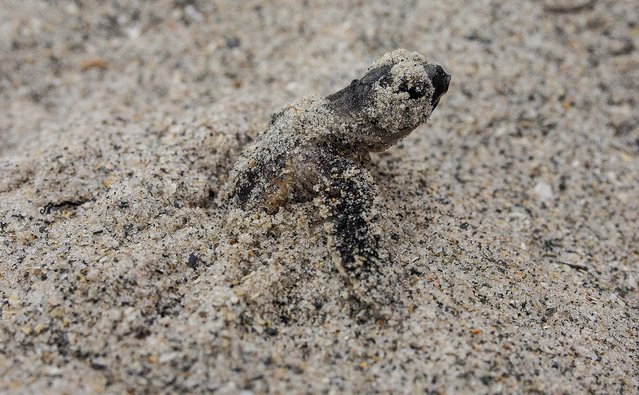 A loggerhead hatchling emerges from its nest on the beach at Coral Cove Park in Tequesta. (Photo by Greg Lovett/The Palm Beach Post)