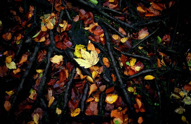 Fallen leaves lie on roots in Munich, Germany, October16, 2013. (Photo by Matthias Schrader/Associated Press)
