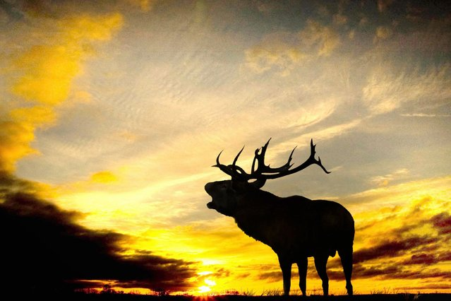 Stunning silhouette of a Red Deer Stag bellowing taken early morning at at Burley Manor, New Forest. (Photo by Mark Rutley/Solent News)