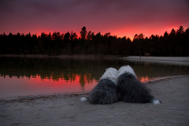 Sophie and Sarah the Old English Sheepdogs watch the sun go down on a beach. (Photo by Cees Bol/Caters News Agency/Mercury Press)