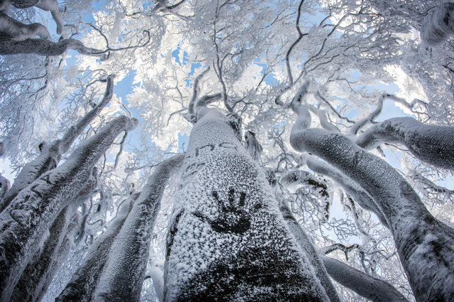 A walker has left a handprint on a snow- covered tree trunk on Grosser Feldberg mountain in the Taunus mountain range, Germany, 16 January 2017. (Photo by Frank Rumpenhorst/DPA)