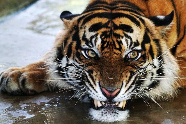 A rescued male tiger named Atan Bintang, awaits its release to its original habitat. The animal has been residing at the Sumatran Tiger Rehabilitation Center in Dharmasraya, west Sumatra, Indonesia. (Photo by Jefri Tarigan/Jefta Images/Barcroft Media)