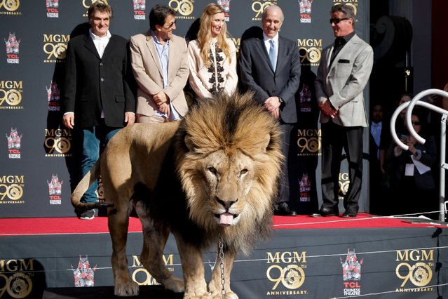 Sylvester Stallone and a lion kicks off Metro-Goldwyn-Mayer 90th Anniversary celebration at TCL Chinese Theatre in Hollywood. (Photo by Tibrina Hobson/WireImage)