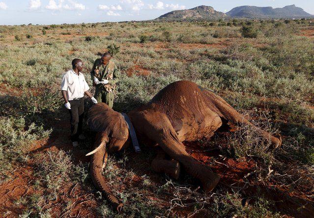 Kenya Wildlife Service and Save The Elephants staff stand next to an elephant as they undertake the collaring of ten elephants ranging near the Standard Gauge Railway to fit them with advanced satellite radio tracking collars in Tsavo National Park, Kenya March 15, 2016. (Photo by Goran Tomasevic/Reuters)