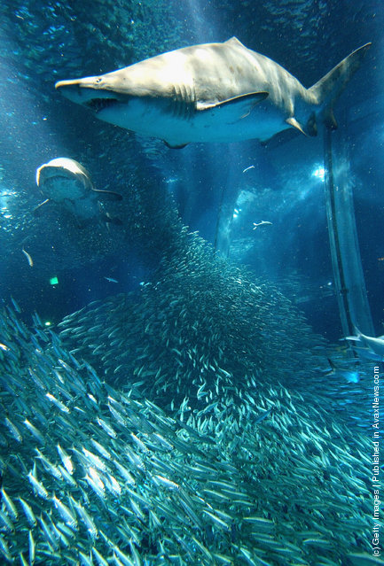 Shoal of sardines and sharks swim in a tank at Yokohama Hakkeijima Sea Paradise on March 19, 2009 in Yokohama, Japan
