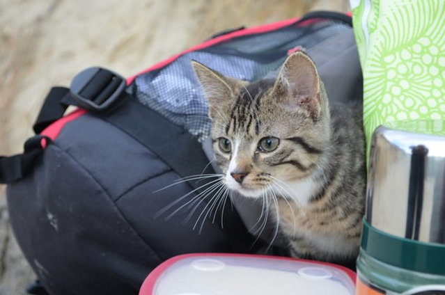 Kitten Who Likes To Travel In A Backpack