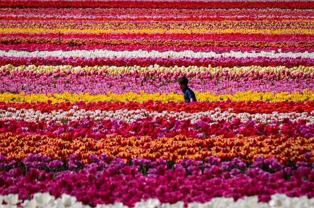 A young boy runs through rows of tulips at the Abbotsford Tulip Festival in Abbotsford, Canada, Sunday, April 17, 2016. (Photo by Darryl Dyck/The Canadian Press via AP Photo)