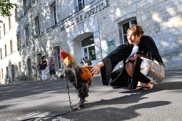 A lawyer pets a rooster in front of the high court (Tribunal de Grande Instance) in Rochefort, western France, on July 4, 2019 where the justice is set to rule on whether a lively cockerel should be considered a neighbourly nuisance in a case that has led to shreiks of protest in the countryside. (Photo by Xavier Leoty/AFP Photo)