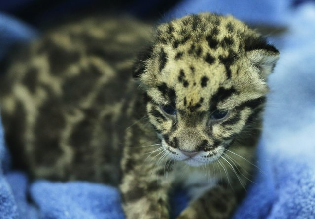 One of the four clouded leopard cubs currently at the Point Defiance Zoo & Aquarium lies on a towel Friday, June 5, 2015 in Tacoma, Wash. following a feeding session. The quadruplets were born on May 12, 2015 and now weigh about 1.7 lbs. each. Friday was their first official day on display for public viewing, usually during their every-four-hours bottle-feeding sessions, which were started after the cubs' mother did not show enough interest in continuing to nurse them. (AP Photo/Ted S. Warren)