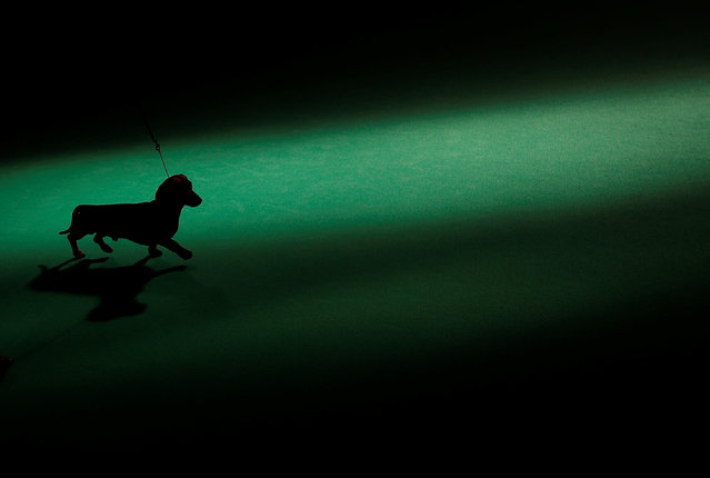 A Dachshund is shown during the first day of the Crufts Dog Show in Birmingham, Britain March 9, 2017. (Photo by Darren Staples/Reuters)
