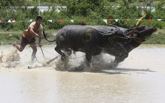 A Thai farmer controlling a pair of buffaloes competes in the flooded field during the annual Wooden Plow Buffalo Race in Chonburi Province, southeast of Bangkok, Thailand, Saturday, July 13, 2019. The farmers are celebrating the start of the sowing season by racing the buffaloes whose usual duty is to plow field.  (Photo by Sakchai Lalit/AP Photo)