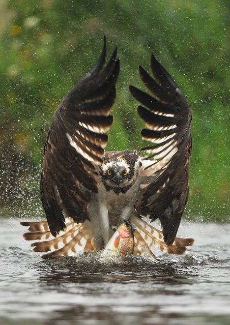 Osprey photo was taken near Aviemore. (Photo by Bill Doherty/National Pictures)