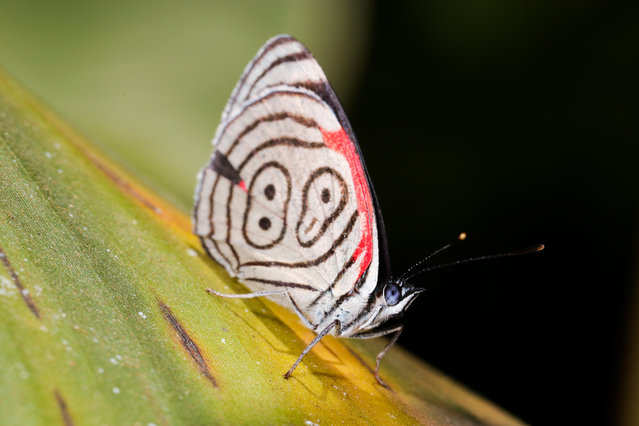 A Cramer's eighty-eight, Diaethria clymena meridionalis, on a banana leaf in Brazil. This distinctive species of butterfly is found from Brazil and Peru as far north as Mexico. (Photo by Leonardo Castro/Alamy Stock Photo)