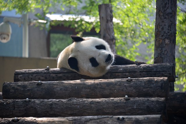 On September 3, 2019, a giant panda rests on wood for a nap, sits in a special cradle to rest, or jumps up and down to play in Beijing zoo. (Photo by Fan Jiashan/SIPA Asia)