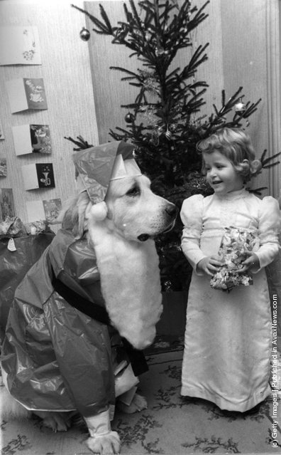 1974: Three year old Marianne Abbott from Leigh on Sea, Essex, unwraps her Christmas presents under the benign gaze of Smokey the dog, dressed up as Santa, complete with beard