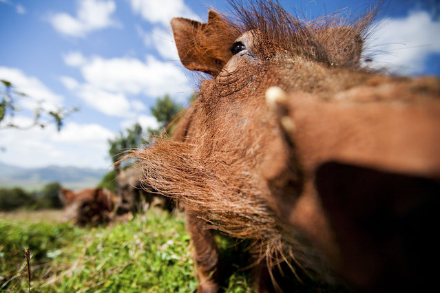 This family of warthogs regularly visited our campsite in the Ethiopian highlands so I set up a remote camera with a wide-angle lens to photograph them as they rummaged around for food. They just had a mud bath. (Photo by Will Burrard-Lucas/Caters News Agency)