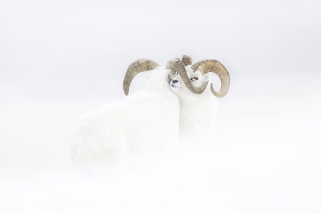 Rising star portfolio award winner: Frozen Moment by Jérémie Villet, France. Pushing against each other, two male Dall sheep in full winter-white coats stand immobile at the end of a fierce clash on a windswept snowy slope in Yukon, Canada. (Photo by Jérémie Villet/2019 Wildlife Photographer of the Year)