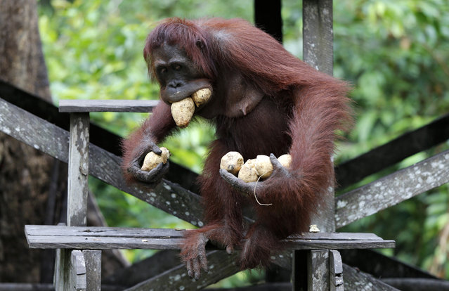 An orangutan leaves the feeding platform in the forest with mouth and hands full of sweet potatoes at Camp Leakey in Tanjung Puting National Park, in Kalimantan (Indonesian Borneo), Indonesia, September 3, 2013. (Photo by Barbara Walton/EPA)