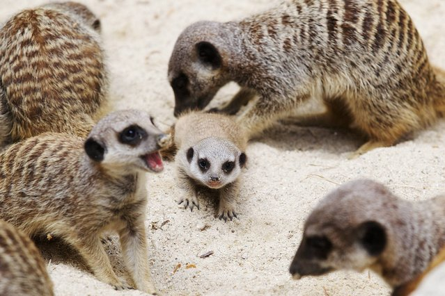 Dublin Zoo is delighted to announce the birth of two meerkat pups, 3rd July 2014. The female pups join the mob of 16 meerkats in their habitat which is located in the Meerkat Restaurant at Dublin Zoo. (Photo by Patrick Bolger/PA Ware)