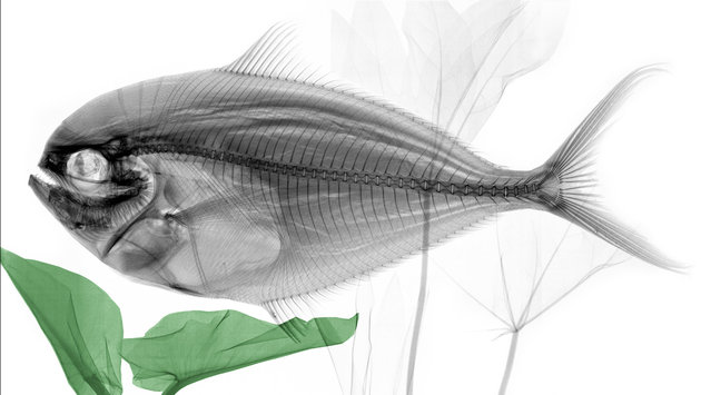 Coloured X-ray of a Mahi-mahi fish. A physicist has used X-ray to create an extraordinary collection of artwork. Arie van't Riets pictures reveal birds, fish, monkeys and flowers in an incredible new light. The 66-year-old, from Bathmen in the Netherlands, began X-raying flowers as a means to teach radiographers and physicians how the machine worked. But after adding a bit of colour to the pictures, the retired medical physicist realised the potential for an exciting new collection of art. (Photo by Arie van't Riet/Barcroft Media)