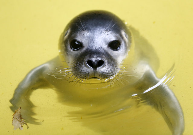 The five days old yet to be named baby seal swimming in water at Duisburg zoo, Germany, 28 June 2016. As the baby seal was born in the water, the zookeepers so far could not determine its gender. (Photo by Roland Weihrauch/EPA)