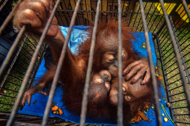 This picture taken on December 15, 2019 shows three young orangutans after they were rescued by police from illegal wildlife traffickers in Pekanbaru in Riau province, Indonesia. (Photo by Wahyudi/Jefta Images/Barcroft Media)