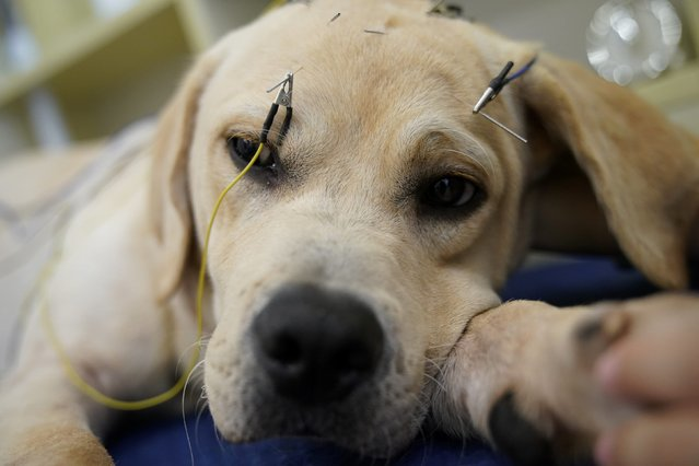 A dog receives treatment at the Shanghai Traditional Chinese Medicine Neurology and Acupuncture Animal Health Center, which specializes in acupuncture and moxibustion treatments for animals in Shanghai, China on August 21, 2017. (Photo by Aly Song/Reuters)