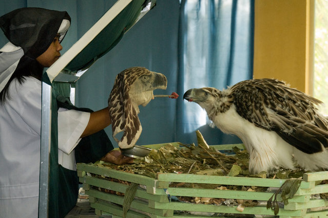 A captive-bred Philippine eagle is hand fed at the Philippine Eagle Center. Loss of habitat due to deforestation means these eagles are critically endangered. Some captive-bred birds have been released back into the wild. (Photo by Klaus Nigge/Photographers Against Wildlife Crime/Wildscreen/The Guardian)