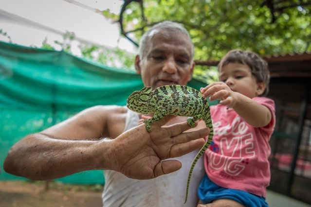 Prakash Amte and his granddaughter are seen playing with a Chameleon from his orphanage on September 19, 2017 in Maharashtra, India. (Photo by Haziq Qadri/Barcroft Media)