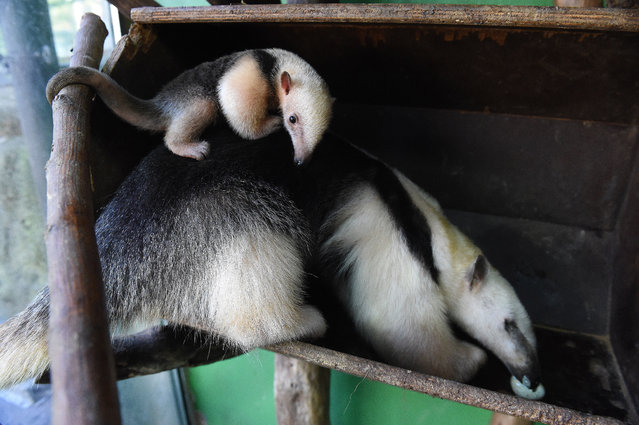 Southern tamandua  female cub (Tamandua tetradactyla) is presented for the first time to public in the Zoo in Olomouc, Czech Republic, October 2, 2015. She was born three weeks ago.  Olomouc zoo is the only one garden in the Czech Republic, in which the southern tamadua are successfully bred. (Photo by Ludek Perina/CTK via ZUMA Press)