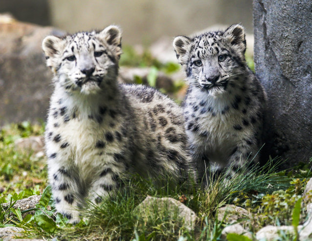 Four month old snow leopard cubs (Pantheria uncia) explore their habitat as they make their public appearance at the Brookfield Zoo in Brookfield, Illinois, USA, 07 October 2015. The cubs is were born on 16 June 2015. The litter is the second one for Sarani and her 5-year-old mate, Sabu. (Photo by Tannen Maury/EPA)