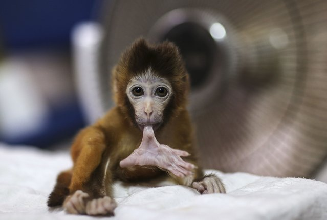 A three-month-old macaque bites its toe in front of a fan heater at a wildlife park in Kunming, Yunnan province, November 13, 2014. (Photo by Wong Campion/Reuters)