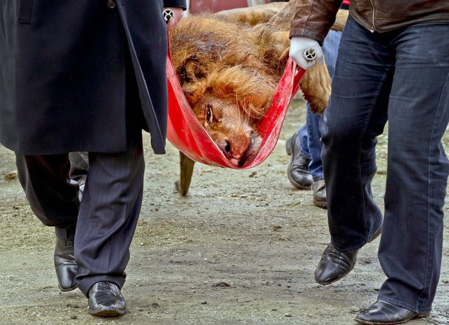 A sedated lion is carried on a stretcher, at the estate of Ion Balint, a notorious gangster, in Bucharest, Romania, February 27, 2013. Authorities along with specialists of the animal welfare charity Vier Pfoten, removed four lions and two bears that were illegally kept on the estate. Balint was arrested on dozens of other charges including attempted murder, depriving people of their freedom, blackmail and illegally holding arms. (Photo by Vadim Ghirda/Associated Press)
