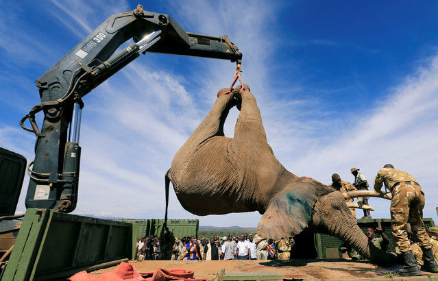Kenya Wildlife Service (KWS) rangers load a tranquillised elephant onto a truck during a translocation exercise to Ithumba Camp in Tsavo East National Park, in Solio Ranch in Nyeri County, Kenya February 21, 2018, amid threats from poaching and habitat loss. (Photo by Thomas Mukoya/Reuters)