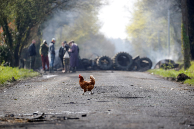 A hen crosses the road as protesters stand by a barricade in the zoned ZAD (Deferred Development Zone) at Notre-Dame-des-Landes, near Nantes, France, April 13, 2018. (Photo by Stephane Mahe/Reuters)