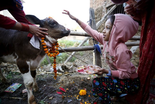 A girl offers prayers to a cow during a religious ceremony in Kathmandu, Nepal November 11, 2015. (Photo by Navesh Chitrakar/Reuters)