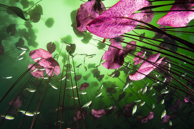 "Opening to the underworld by Christian Vizl. ""The view from below in the still water of the Aktun Ha cenote in Mexico is like looking into a magical aquarium. A natural summer algal bloom colours the top layer of water green, and though the undersides of the ageing lily leaves have been lit by a low light from strobes, they are truly pink. Their stems reach up several metres from the bottom of the wide cenote pool, but though most of them never reach the surface, for much of the year the water is so crystal clear that there is enough light for them to photosynthesise"". (Photo by Christian Vizl/Unforgettable Underwater Photography/NHM)"