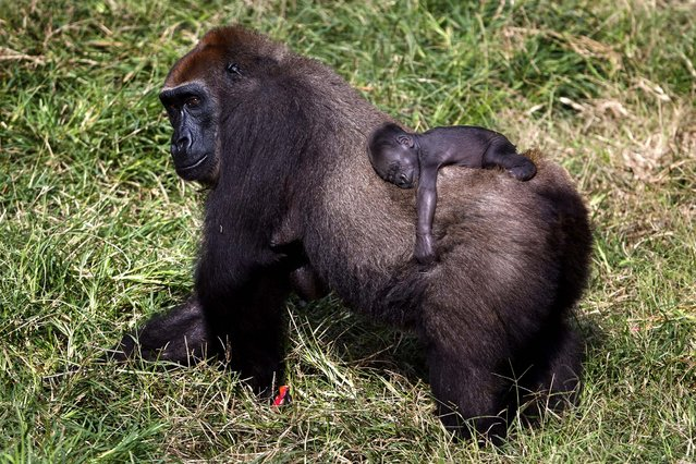 A gorilla with its two-week-old baby roams the Safari Zoo in Ramat Gan, Israel. (Photo by Uriel Sinai/Getty Images)