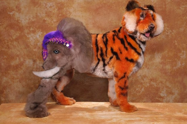 A dog with a half tiger and half elephant design at a creative grooming competition in Hershey, Pennsylvania. (Photo by Ren Netherland/Barcroft Media)
