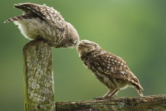 A cute owlet gives his father a peck in Droitwich, England, on July 16, 2013. (Photo by Sylwia Domaradzka/Barcroft Media)