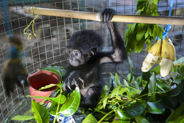 A rescued baby black gibbon (symphalangus syndactylus) is seen in an enclosure at a local nature conservation agency' s office in Banda Aceh, Aceh province on September 13, 2018. A local nature conservation agency seized the two month- old siamang, or black- furred gibbon, from a villager suspected of being an animal trader. Siamangs are listed as 'endangered' in the International Union for Conservation of Nature (IUCN) Red List. (Photo by Chaideer Mahyuddin/AFP Photo)