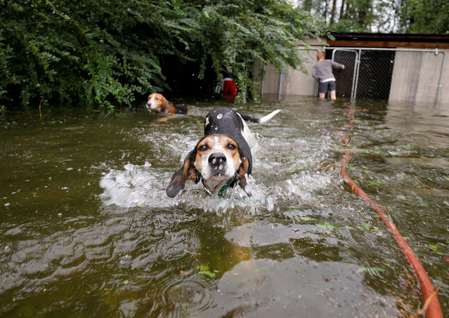 Panicked dogs that were left caged by an owner who fled rising flood waters in the aftermath of Hurricane Florence, swim free after their release in Leland, North Carolina, U.S., September 16, 2018. (Photo by Jonathan Drake/Reuters)