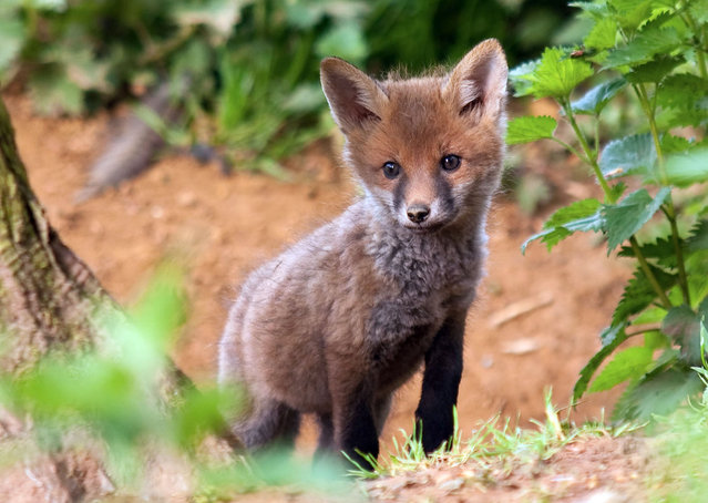 Inquisitive fox cub near its hole. (Photo by Adam Tatlow/BNPS)