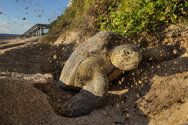 A green turtle climbs out of her nest after depositing eggs on the beach in Coral Cove Park in Tequesta. (Photo by Greg Lovett/The Palm Beach Post)