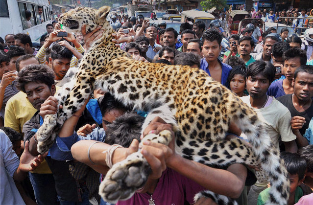 Indians carry the body of a leopard in Gauhati, in the northeastern Indian state of Assam, Friday, March 13, 2015. The leopard fell into narrow cave near a temple and died before it could be rescued, according to the Press Trust of India. Due to habitat loss, leopards sometimes enter populated areas in search of food. (Photo by AP Photo/Press Trust of India)