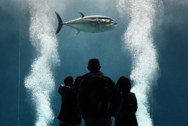 Visitors watch a tuna fish swimming in the large tank at the Tokyo Sea Life Park in Tokyo on March 25, 2015. The park on March 24 found the second last tuna fish floating dead in its vast doughnut-shaped enclosure that was once home to nearly 160 fish and among the venue's most popular attractions, said a spokesman for Tokyo Sea Life Park. (Photo by Toshifumi Kitamura/AFP Photo)