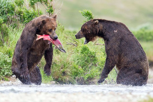The two bears stand on their hind legs on a face-off over salmon fish. (Photo by Tin Man Lee/Caters News)