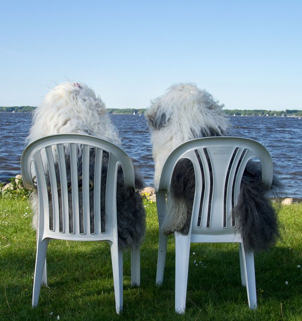 Sophie and Sarah, old English sheepdogs, watch the sea from their plastic chairs. Amateur photographer Cees Bol, from the Netherlands, documents the lives of his beloved pooches Sophie and Sarah by taking pictures of them every day. (Photo by Cees Bol/Caters News Agency/Mercury Press)